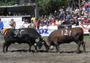 Cow fights in Valais