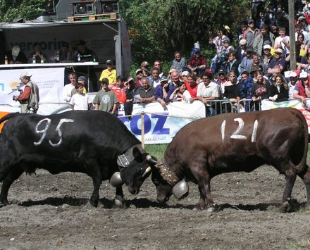 combats-des-reines-de-race-dherens
